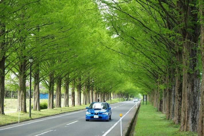 5月の滋賀県メタセコイア並木